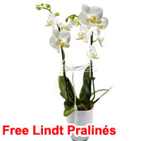 Orchid in Pot with white blossoms & Lindt Pralinés