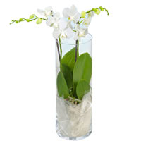 Fresh White Orchid Gift
