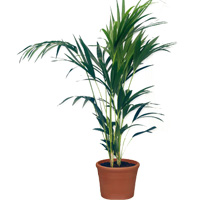 Graceful Kentia Palm Plant